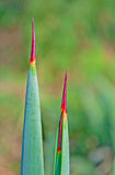 Spear shapped thorns Stock Photos
