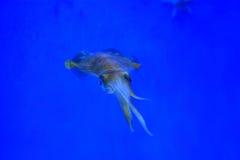 Spear squid Stock Photo