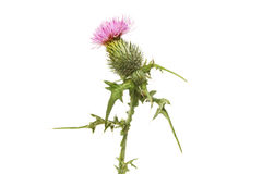 Spear thistle flower and foliage royalty free stock photo