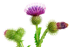 Spear thistle, cirsium vulgare Stock Image