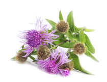 Spear Thistle (Cirsium vulgare) Stock Photo