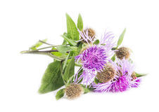 Spear Thistle (Cirsium vulgare) Stock Photography