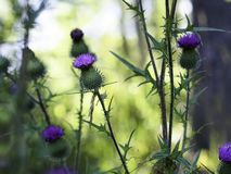 Spear thistle - Cirsium vulgare stock photography