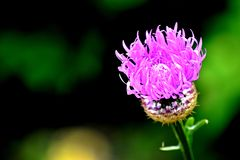 Spear Thistle, common Thistle, Purple-Pink Flower, stock photo