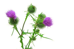 Spear thistle or common thistle Cirsium vulgare Stock Photos