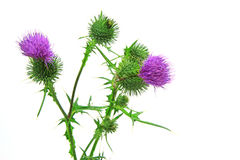 Spear thistle or common thistle Cirsium vulgare Stock Photography