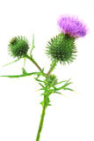 Spear thistle or common thistle Cirsium vulgare Royalty Free Stock Images