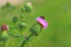 Spear thistle or common thistle Cirsium vulgare Royalty Free Stock Photography