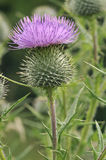 Spear Thistle Royalty Free Stock Images