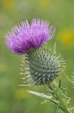 Spear Thistle Royalty Free Stock Image