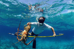 Spearfishing for lobster Royalty Free Stock Image