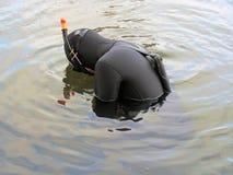 Spearfishing na água gelada pelo homem no roupa de mergulho Fotos de Stock