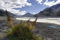 Speargrass en el glaciar de Tasman Fotos de archivo