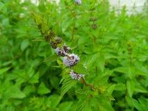 Spearmint в цветени Стоковые Изображения RF