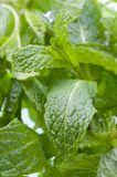 Spearmint Stock Photo