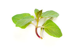 Spearmint Royalty Free Stock Photography