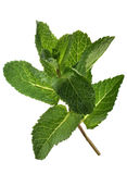 Spearmint bunch Royalty Free Stock Image