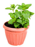 Spearmint or curly (Mentha spicata) in the pot Stock Photo