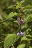 Spearmint. Flower wild spearmint (Mentha pulegium) on meadow Royalty Free Stock Photo