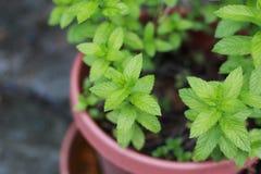 Spearmint growing in a pot. Spearmint plant growing in a pot Royalty Free Stock Photo