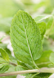Spearmint herb Royalty Free Stock Photos