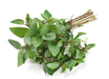 Spearmint herb Stock Photography