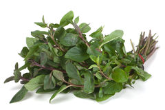 Spearmint herb Stock Image