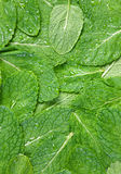 Spearmint herb background Stock Images