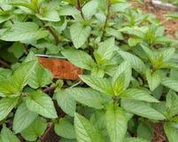 Spearmint In Herb Garden Stock Image