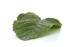 Spearmint leaf Stock Image