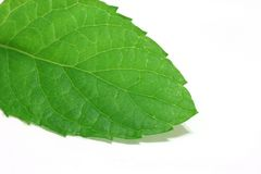 Spearmint leaf detail Royalty Free Stock Image