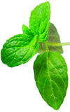 Spearmint. A leaf on fresh spearmint Royalty Free Stock Image