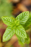Spearmint Leaves Stock Photos