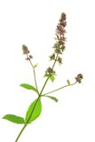 Spearmint (Mentha spicata) Royalty Free Stock Images