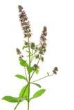 Spearmint (Mentha spicata) Royalty Free Stock Photo