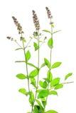 Spearmint (Mentha spicata) Stock Image