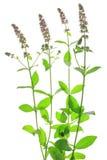 Spearmint (Mentha spicata) Stock Images