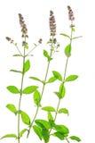 Spearmint (Mentha spicata) Royalty Free Stock Photography