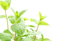Spearmint plants Stock Photo