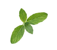 Spearmint royalty free stock image