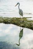 Specchio dell'airone cenerino in acqua, Maldive Fotografia Stock