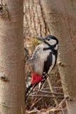 Specht auf dem Baum Lizenzfreies Stockfoto