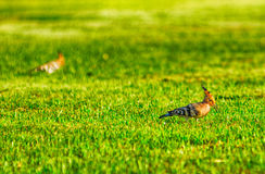 Specht auf dem Gras Stockbilder