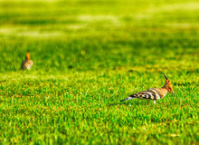 Specht auf dem Gras Stockbild