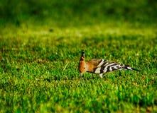 Specht auf dem Gras Stockfoto