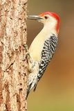 Specht auf einem Baumstamm Stockbild
