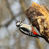 Specht auf einem faulen Baum Stockfotos