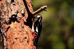 Specht bij de ingang van het nest Royalty-vrije Stock Afbeelding