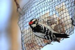 Specht bij vogelvoeder Stock Afbeelding