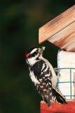 Specht bij vogelvoeder Stock Afbeeldingen